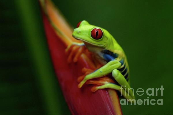 Tree Frog 19 Print by Bob Christopher