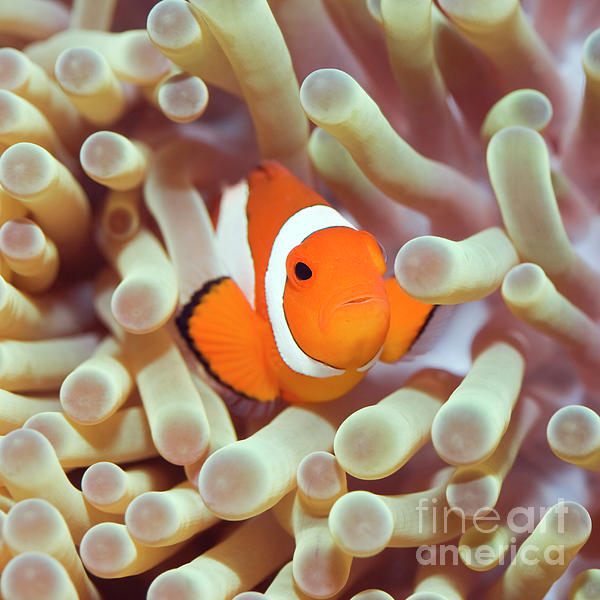 MotHaiBaPhoto Prints - Tropical fish Clownfish