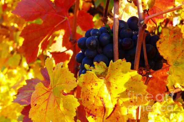 Vineyard 16 Photograph