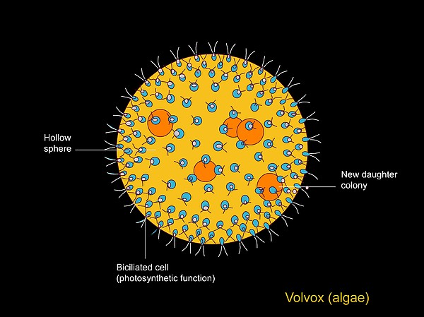 volvox diagram labeled wwwpixsharkcom images