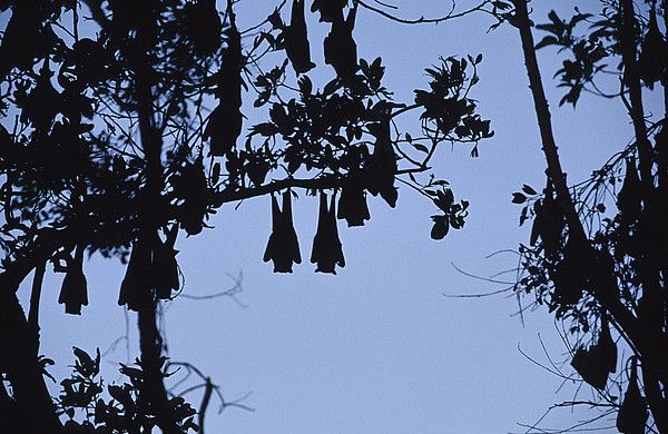Vulnerable Spectacled Flying Fox Bats Print by Jason Edwards