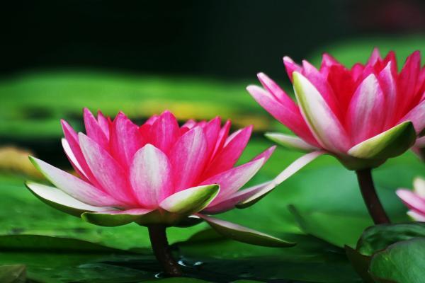 BILDES.. GLEZNAS.. Skaistais.. 1-water-lilies-jim-darnall