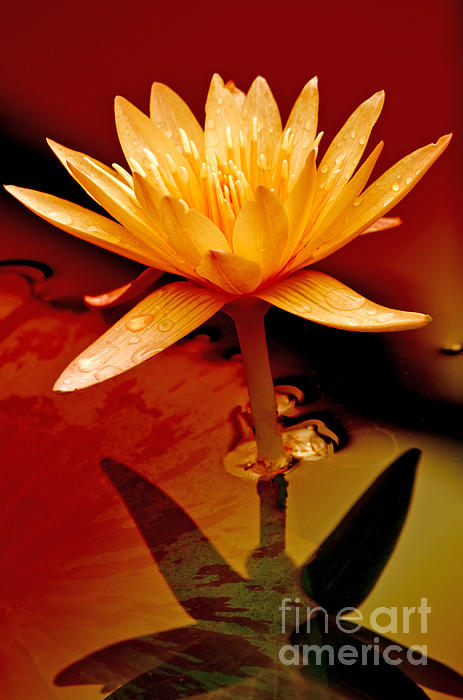 Water Lily 1 Print by Julie Palencia