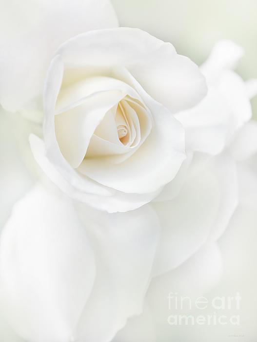Jennie Marie Schell - White Rose Flower Petals