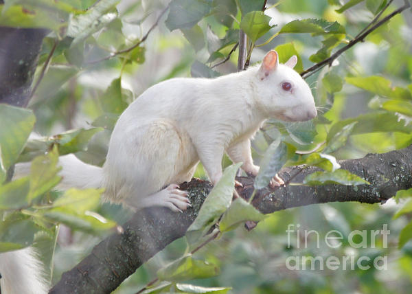 White Squirrel Print by Robert E Alter Reflections of Infinity