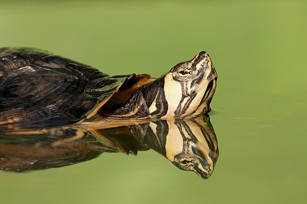 Yellow-bellied Slider Trachemys Scripta Print by Ingo Arndt