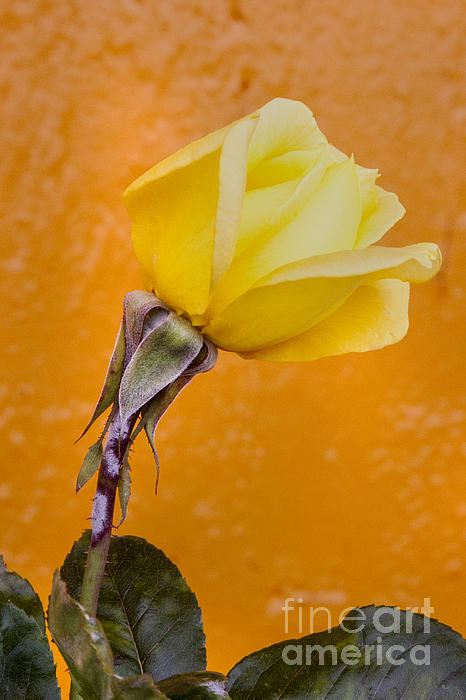 Darleen Stry - Yellow Rose Bud