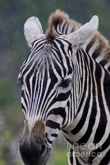 Zebra Print by Thomas Marchessault