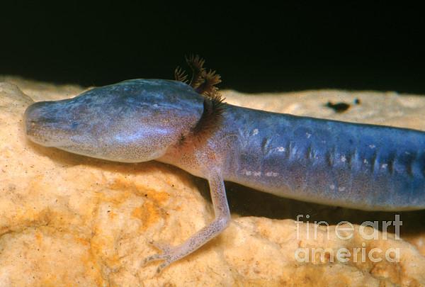 Austin Blind Salamander Print by Dante Fenolio