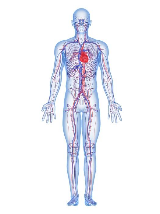 Cardiovascular System, Artwork Print by Sciepro