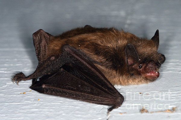 Little Brown Bat Print by Ted Kinsman