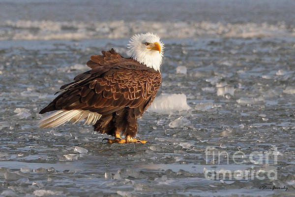 Steve Javorsky - Bald Eagle