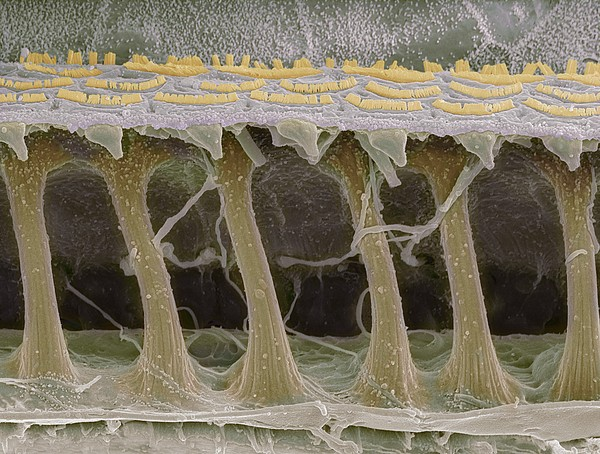 Inner Ear Hair Cells, Sem Print by Steve Gschmeissner