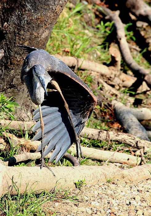 Jack R Brock - Great Blue Heron