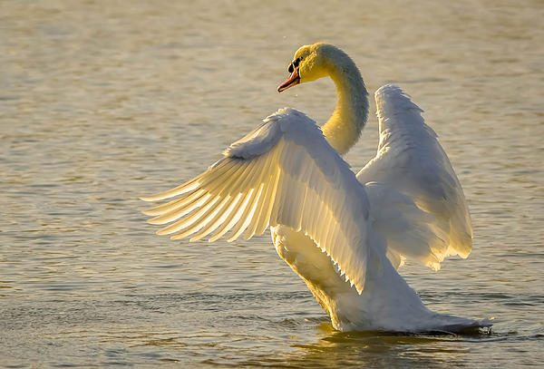 Brian Stevens - Mute Swan