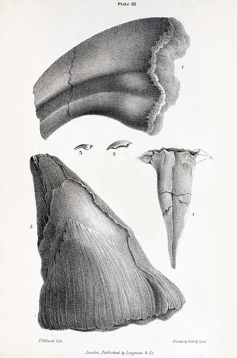 1833 Iguanodon Mistaken Spike Horn Fossil Print by Paul D Stewart