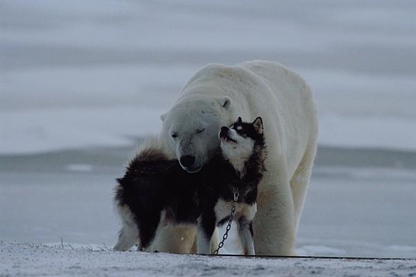 A Polar Bear Ursus Maritimus Print by Norbert Rosing