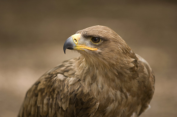 A Tawny Eagle At A Wild Bird Sanctuary Print by Joel Sartore