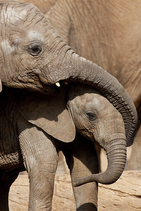 African Elephant Loxodonta Africana Print by San Diego Zoo