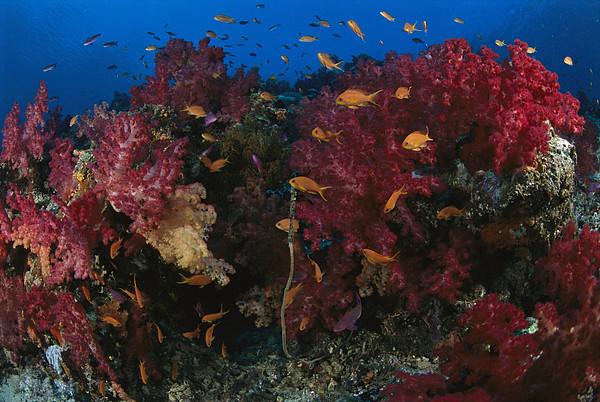 Anthias Fish Swim Near A Reef Wall Print by Tim Laman