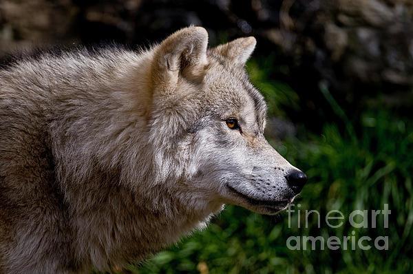 Arctic Wolf Portrait Print by Michael Cummings