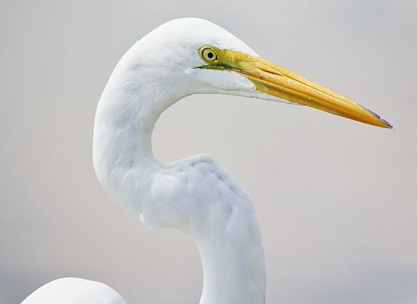 Beautiful Great White Egret Print by Paulette Thomas