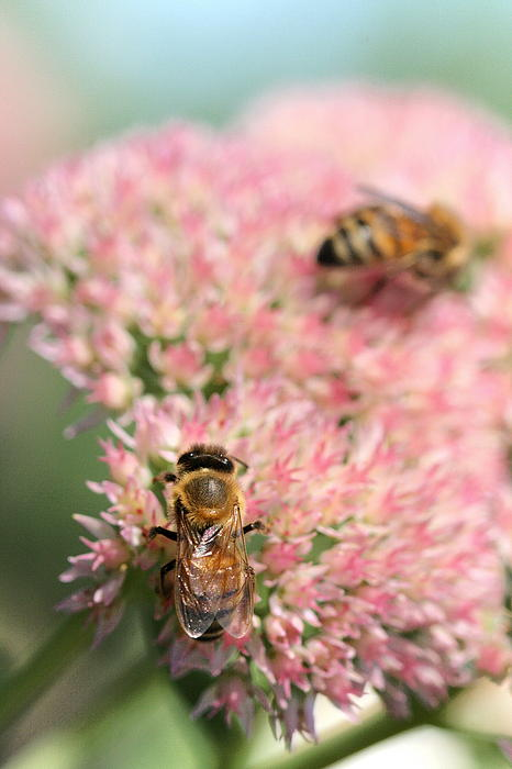 2 Bees Photograph  - 2 Bees Fine Art Print