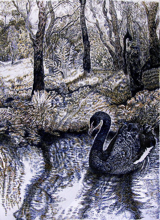 Helen Duley - Black Swan Gliding no 2