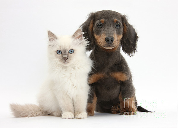 Blue-point Kitten & Dachshund Print by Mark Taylor