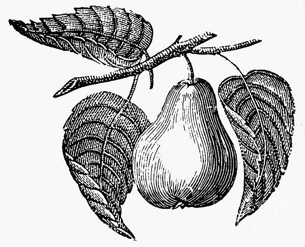 Botany: Pear Print by Granger
