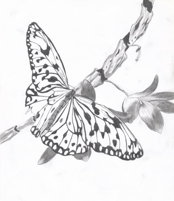 Butterfly Drawing Butterfly