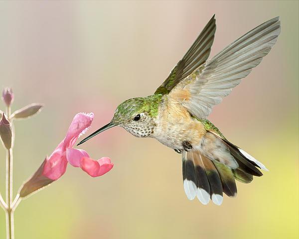 Female Broadtail Hummingbird Print by Gregory Scott