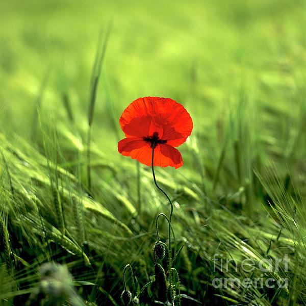 Field Of Wheat With A Solitary Poppy. Print by Bernard Jaubert