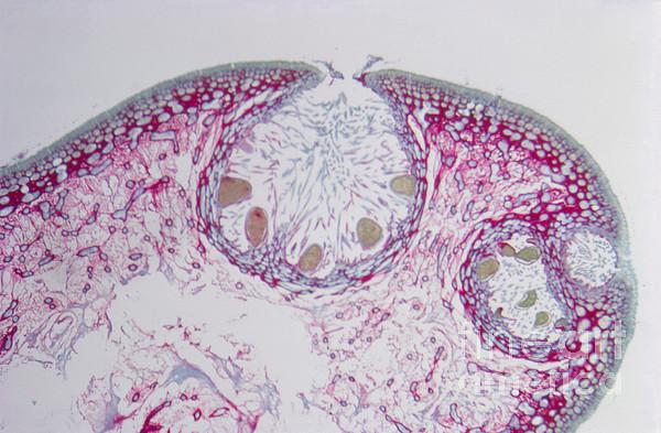 Fucus Sp. Algae, Lm Print by M. I. Walker