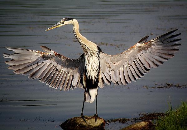 Great Blue Heron In The Marsh Print by Paulette Thomas