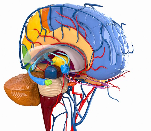 Human Brain Anatomy, Artwork Print by Roger Harris
