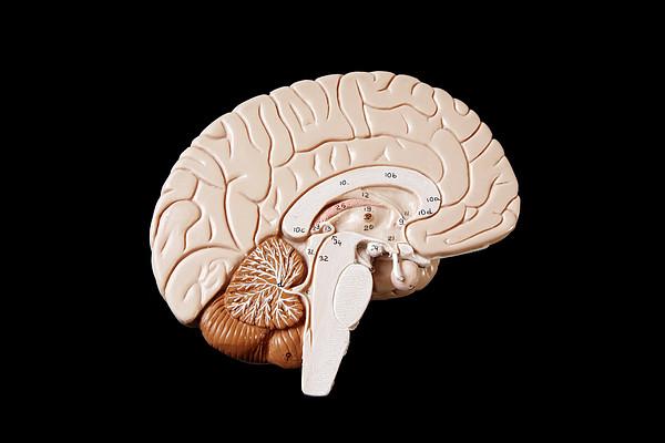 Human Brain Print by Richard Newstead