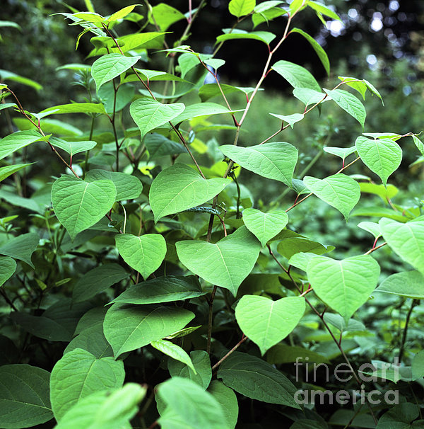 Japanese Knotweed Print by Sheila Terry