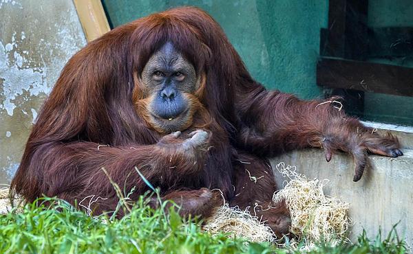 Orangutan Print by Brian Stevens