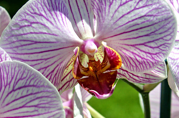 Orchid Flower Print by C Ribet