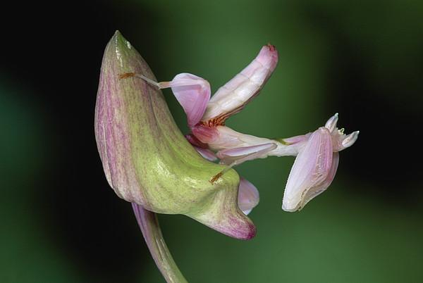 Thomas Marent - Orchid Mantis Hymenopus Coronatus