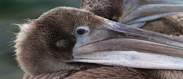 Pelican Print by Paul Marto