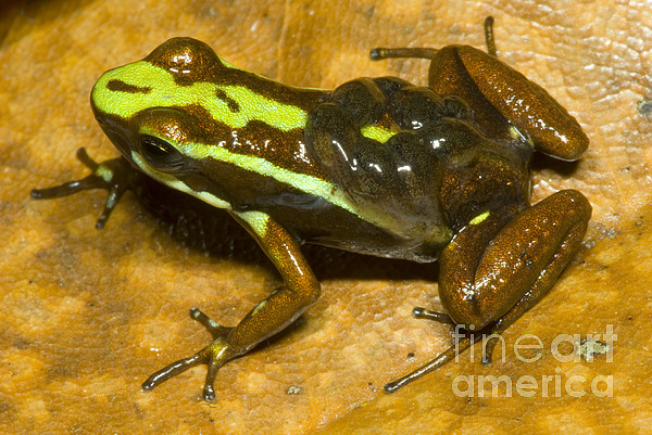 Poison Frog With Eggs Print by Dante Fenolio
