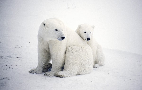Polar Bear And Cub Print by Chris Martin-bahr