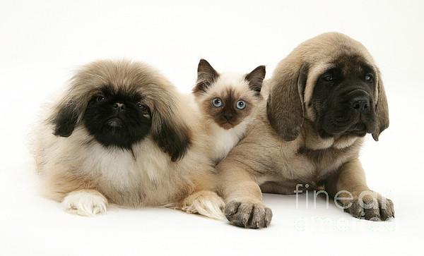Puppies And Kitten Print by Jane Burton