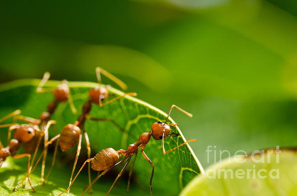 Peerasith Chaisanit - Red ants team work