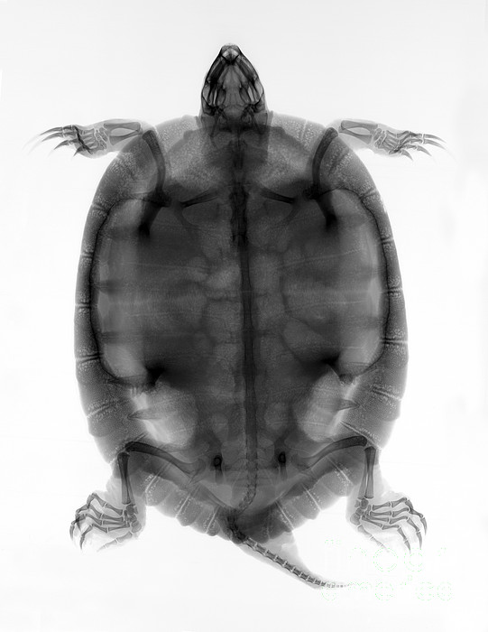 Red-eared Slider Turtle X-ray Print by Ted Kinsman