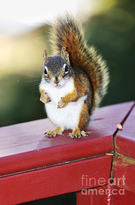 Red Squirrel On Railing Print by Elena Elisseeva