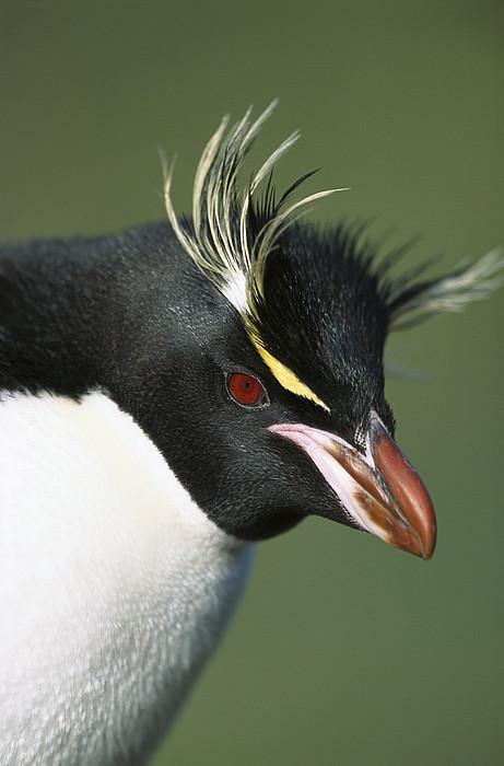 Rockhopper Penguin Eudyptes Chrysocome Print by Tui De Roy