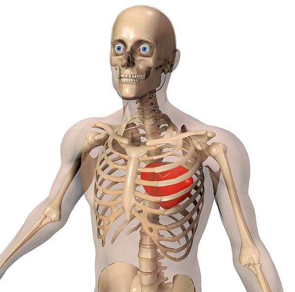 Skeleton Print by Friedrich Saurer